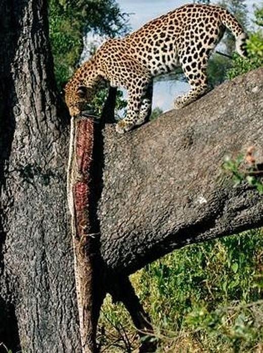 …và treo con trăn trên đó. Theo ước tính, con báo có chiều dài cơ thể 1 – 2 mét trong khi con trăn đá châu Phi có chiều dài lên tới gần 4,4 mét.