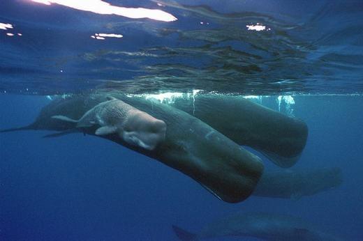 """Khi cho con bú, lưỡi của cá voi cuộn tròn tương tự như một chiếc ống hút và truyền sữa cho con. Theo nhà giải phẫu học về cá voi Joy Reidenberg, thì """"điều này là cần thiết, nhất là khi chúng ở môi trường nước và loài cá này không có môi và má để chứa chất lỏng"""". Sữa của cá voi có dạng sệt như kem đánh răng, chứa 50% chất béo."""