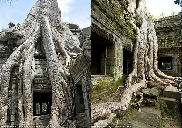 CâyKapoktrồng trong khu tàn tích đềnPreah Kha,Angkor, Campuchialà một di sản thế giới được UNESCO công nhận. Cây Kapok hầu như phủ bóng lên hết khu vực xung quanh, tạo thành cảnh quan hấp dẫn cho lối vào đền.