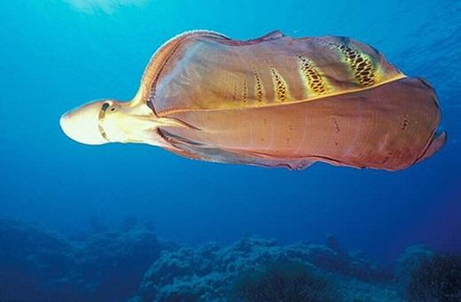 Loại bạch tuộc chăn có 2 chiếc tua dài bất thường. Nhìn từ xa, chúng trông giống như một cái mền đang lơ lửng trong dòng nước. Chúng có chiều dài lên đến 2m với nước bọt thường chứa nọc độc, và có khả năng thay đổi màu sắc và kết cấu làn da nhanh chóng.