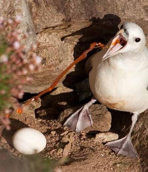 Khi bị đe dọa, những con hải âu Fulmar nôn ra một loạinọc độcmàu cam vào đối thủ và dính vào lông của chúng khiến chúng không thể bay được. Khi bị dính nọc, những con vật thường xuống nước hoặc biển để rửa, nhưng chất độc khiến chúng bị mất thăng bằng và dẫn đến việc chết đuối.