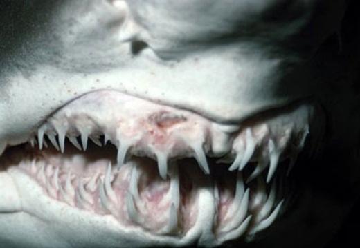 Răng của cá mập có cấu tạo như vảy cá, điều này khiến cho cá mập có thể thay răng suốt đời.