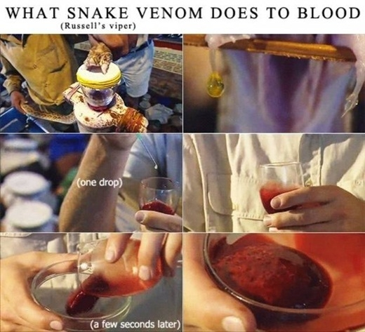 Bức ảnh trên ghi lại khoảnh khắc khi nhỏ một giọt nọc độc của rắn vào máu người khiến cho máu bị nhiễm độc và đông lại chỉ trong một tích tắc.