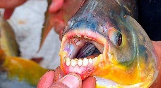 Những chú cá Pacu có liên hệ gần gũi với loài cá ăn thịt Piranha. Chúng thường sống ở những vùng nước ngọt ở Nam Mỹ, sở hữu hàm răng giống loài người và chuyên… ăn dương vật của đàn ông.
