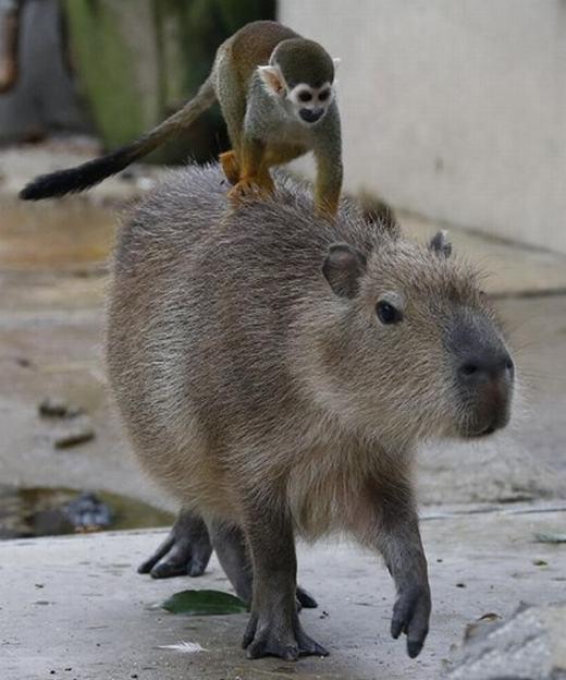 …nhưng chuột lang nước vẫn thấy rất bình thường. Chúng mặc sức cho những chú khỉ điều khiển mình. Hình ảnh này đã khiến những người đến vườn thú không thể không cười.