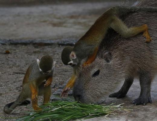 Bởi sự hiền lành đó, gần như giữa khỉ sóc và chuột lang nước không hề có sự tấn công lẫn nhau.
