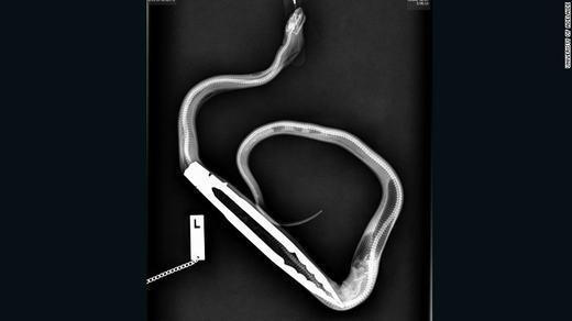 Con trăn nuôi khổng lồ này đã nuốt chửng một chiếc kẹp nướngthịtBBQ. Chỉ vì quá háu ăn, chiếc kẹp này đã vào bụng con trăn khi chủ của nó cho ăn một con chuột.
