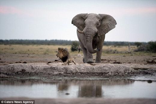 """Nhận thấy sự nguy hiểm, con sư tử mới """"té chạy""""."""