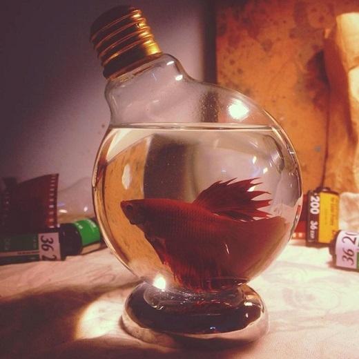 Biến bóng đèn thành bình đựng cá chọi.