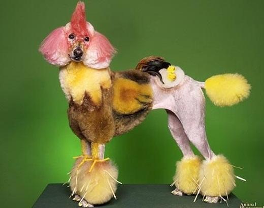 Trở thành một con gà chưa đủ, trên lưng em ấy còn có hẳn hai cái trứng ốp-la.