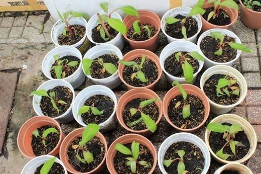 Cây chuối có thể trồng trong chậu...