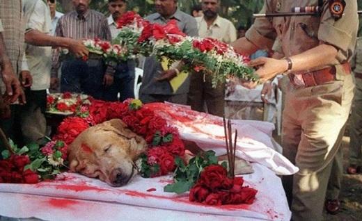 Chú chó Zanjeer đã cứu sống hàng ngàn người khỏi một vụ đánh bom thảm sát ở Mumbai vào tháng 3 năm 1993 khi phát hiện ra hơn 3 kí thuốc nổ, 600 kíp nổ, 249 quả lựu đạn và 6.406 viên đạn. Khi Zanjeer qua đời vào năm 2000, chú đã được chôn cất với nghi lễ long trọng và có rất nhiều quan chức cấp cao cũng tham gia buổi lễ tang.