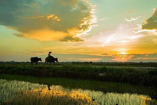 Chấm phá vào bức tranh toàn cảnh ở Hội An là một nét rất đỗi mộc mạc và thân quen với làng quê Việt Nam: những con trâu thong thả đi về trên con đường làng khi ráng chiều trải vàng khắp không gian.