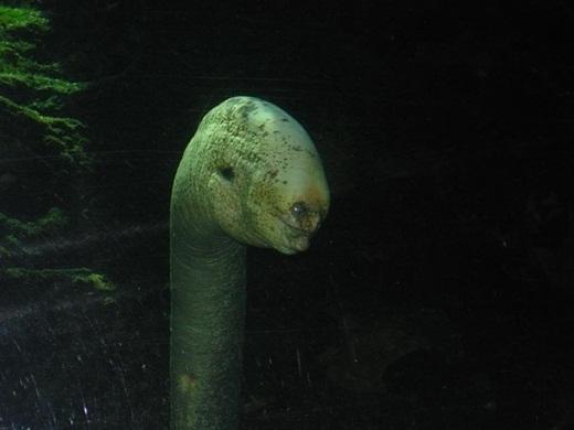 Đây là một bức ảnh hiếm hoi chụp lại được cận cảnh loài lươn creepy vào thế kỉ XXI, ngoài khơi vùng biển Hawaii. Kể từ đó đến nay, không ai bắt gặp hay ghi lại hình ảnh về loài sinh vật bí ẩn này. Không có nhiều tài liệu về loài lươn creepy ngoại trừ thông tin nó sở hữu một bộ hàm đầy đủ.