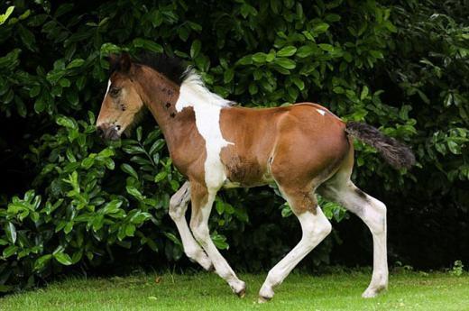Chú ngựa có bộ lông đặc biệt với hình ảnh một chú ngựa khác màu trắng nhận được sự chú ý của nhiều người thời gian qua. Chú ngựa này được sinh ra ở trường đua Flying Hall, North Yorkshire, Vương quốc Anh.