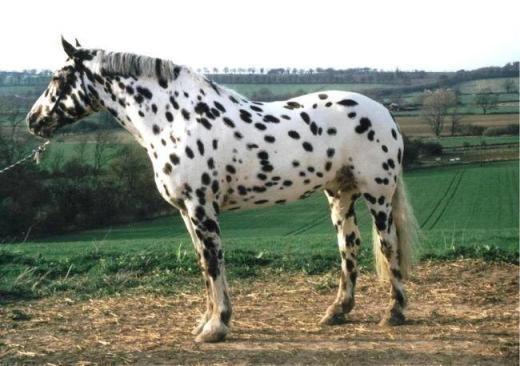 Loài ngựa này có tên là Dalmatian hay còn gọi là ngựa đốm. Với bộ lông trắng điểm đốm đen dày đặc, nó đã trở thành giống ngựa hiếmcủa nước Anh và thế giới.
