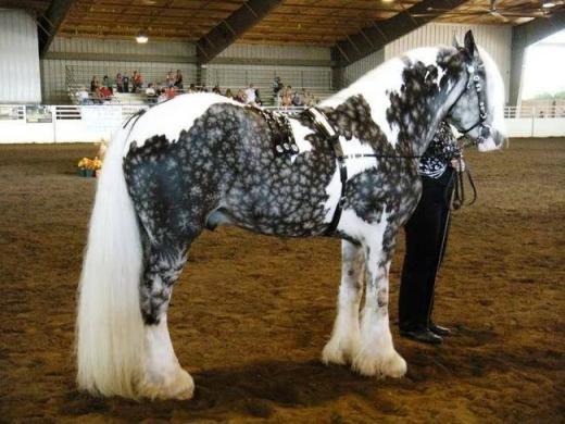 Ngựa Silver Dapple Pinto đặc biệt ấn tượng với vẻ ngoài mĩ miều. Loài ngựanày rất dễ nhận biết bởi bộ lông đầy hoa văn, lông đuôi dài mượt, màu trắng và cả bốn chân đều mọc lông dày phủ đất.