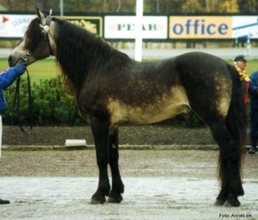 Ngựa Buckskin đặc trưng với cả thân mình đều nâu đen nhưng phần bụng lại có màu vàng ngà.