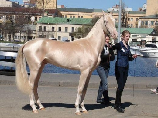 Được mệnh danh là loài ngựa đẹp nhất thế giới, ngựa Akhal-Teke nổi bật với bộ lông mượt như nhung, ánh kim đẹp tuyệt vời và dáng dấp cao ráo, kiêu sa không một loài ngựa nào có thể sánh bằng.