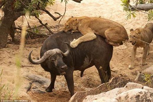 """Tưởng như con trâu đã thành bữa ăn tối của đàn sư tử, tuy nhiên nó đã gặp phải một đối thủ """"không đầu hàng số phận""""."""