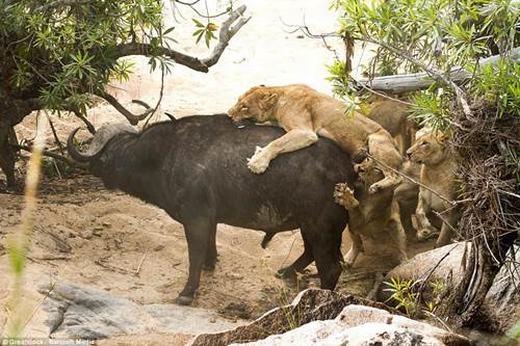 Thậm chí, trâu rừng đã hất một con sư tử xuống suối và con sư tử này bỏ mạng sau cú va đập vào vách đá.