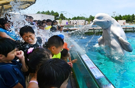 Chú cá voi bluga đang phun nước vào các du khách tại bể cá Hakkeijima Sea Paradise ở Yokohama, Nhật Bản.