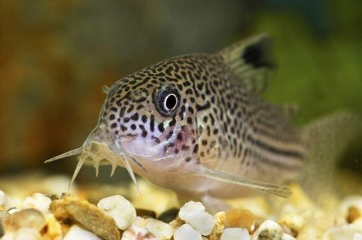 Râu của cá da trơn có chức năng không kém gì xúc tu của loài bạch tuộc. Đây chính là bộ phận giúp chúng phát hiện và tấn công con mồi.