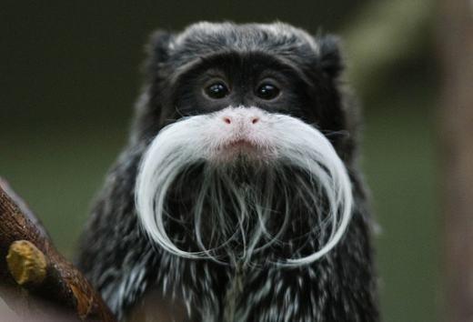 Loài khỉ Emperor Tamarin là động vật có vú, sống ở các lưu vực Amazon phía tây nam, phía đông Peru, phía bắc Bolivia và ở một số bang của Brazil. Chúng dễ dàng được nhận biết bởi bộ ria mép dài màu trắng, uốn vòng cung và thậm chí kéo dài sang hai bên. Cả con đực và con cái đều có bộ ria này.