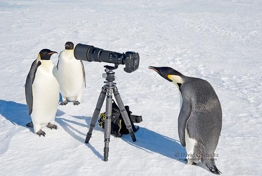 Phải chăng đây là những chú chim cánh cụt vùng Madagasca nổi tiếng?