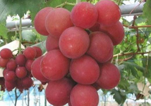 Loại nho đỏ Rubi Roman xuất hiện chủ yếu ở Nhật với đặc trưng là quả rất to, đường kính lên tới 3cm. Ngoài vị ngọt, Rubi Roman còn phát ra hương thơm dịu làm mọi người muốn ăn thêm. Do vậy, giá bán của loại nho đỏ này rất cao.