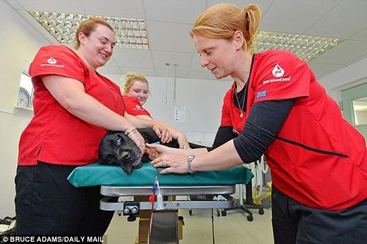 Quy trình để động vật hiến máu cũng giống như con người: khám sức khỏe, tiến hành lấy máu, được nhận thức ăn bồi dưỡng.