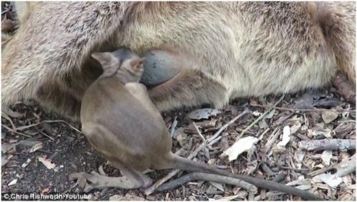 Chuột túi con vô vọng tìm đường quay lại vào túi mẹ.