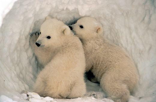 Da của gấu Bắc cực có màu đen. Lông của chúng không phải màu trắng mà thực tế là màu sáng trong. Khi đượcnhìn dưới ánh sáng tím, lớp lông của loài gấu này có màu đen. Tuần lộc là loài nhìn thấy được trong ánh sáng tím và nó có thể nhận dạng được đặc điểm này của gấu trắng Bắc Cực.