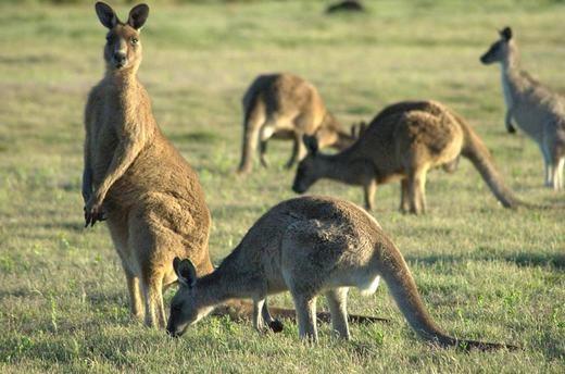 Kangaroo không thể nhảy nếu đuôi của nó không chạm mặt đất. Đơn giản vì đây là bộ phận giữ thăng bằng của chúng.
