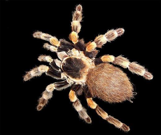Một số loài nhện đực có cơ quan sinh dục nằm ở phần cuối trên một trong những chiếc chân của chúng.