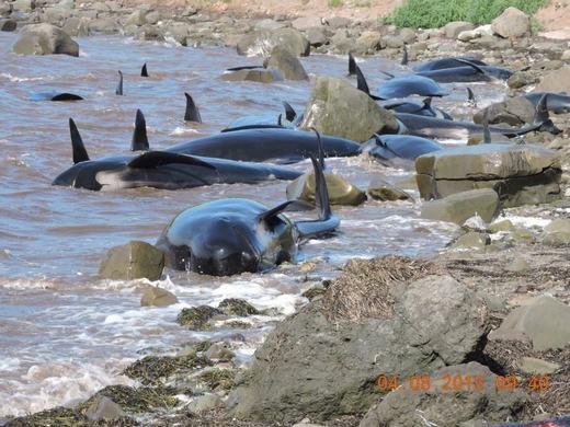 Theo mô tả, những con cá voi hoa tiêu này có chiều dài từ dưới 1 mét đến 3,5 mét.
