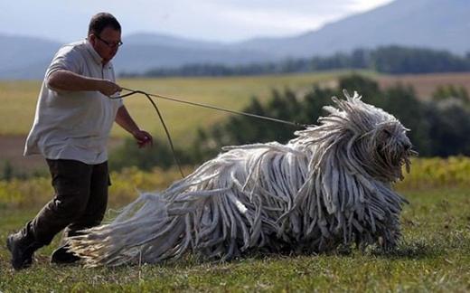 Đây chính xác là một chú chó nhé. Chỉ có điều bộ lông hơi đặc biệt tí thôi!