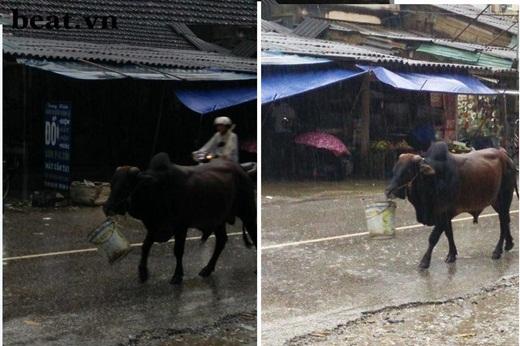 Bức hình chú bò tạiTuyên Quangđeo chiếc xô phía trước, vừa đi vừa dừng lại uống nước trong xô dưới trời mưa đã khiến dân mạng cực kì thích thú.