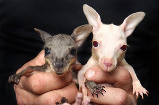 Một con Kangaroo mới sinh nhỏ đến mức có thể nằm gọn trong chiếc muỗng cà phê.