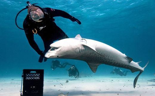 Nếu cá mập bơi ngửa nó sẽ bị rơi vào trạng thái hôn mê.