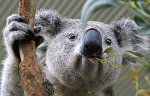 Gấu Koala có thể ngủ 22 tiếng một ngày.