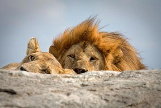 Đó chính là châu Phi, cụ thể là vườn quốc gia Serengeti trải dài từ bắc Tanzania đến tây nam Kenya.
