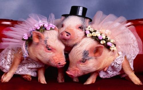 Ảnh cưới phong cách đa thê của chú rể heo sành điệu.