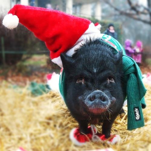 Hóa ra ông già Noel của thế giới loài heo lại mang gương mặt cáu kỉnh đến vậy!