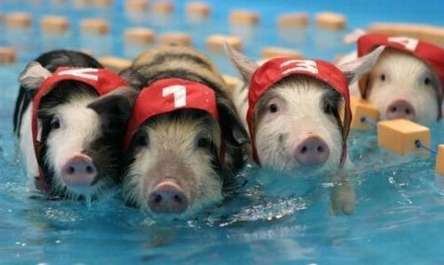 """Đường đua kịch liệt với các nhà vô địch được mệnh danh """"Michael Phelps của thế giới loài heo""""!"""