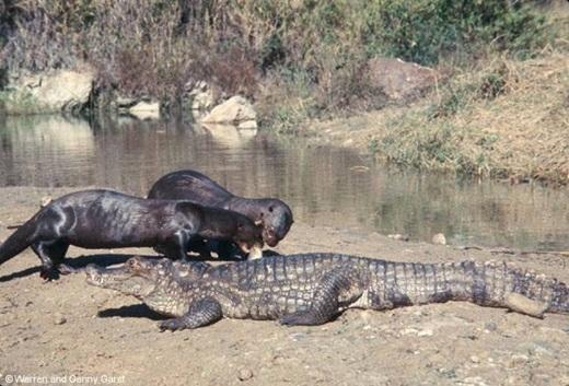 Không phải tất cả các con rái cá đều dễ thương. Những con rái cá khổng lồ có thể dễ dàng hạ gục con mồi to lớn như cá sấu.