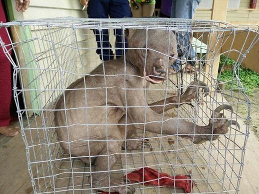 Được biết, con gấu chó này đã mắc phải một chứng bệnh hiếm gặp khiến lông gần như rụng hết. Các nhà bảo vệ động vật tìm được chú trong tình trạng kiệt sức, ốm yếu, rất sợ người và dễ bị kích động. Hiện chú gấu chó này đang được chăm sóc và điều trị tại một trung tâm bảo vệ động vật hoang dã.