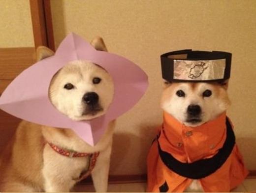 """Em chó Shiba đang cố gắng """"biến hình"""" thành nhân vật Naruto nổi tiếng thế giới đây mà."""