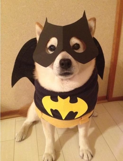 Người dơi Shiba đã sẵn sàng giải cứu thế giới!