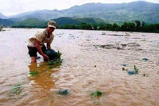Bức hình người dânQuảng Namngâm mình dưới nước vớt những trái dưa trong ngày mưa lũ khiến không ít người phải xót xa.